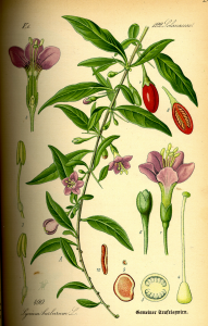 Illustration aus Thomés Flora von 1885 (Wikipedia)